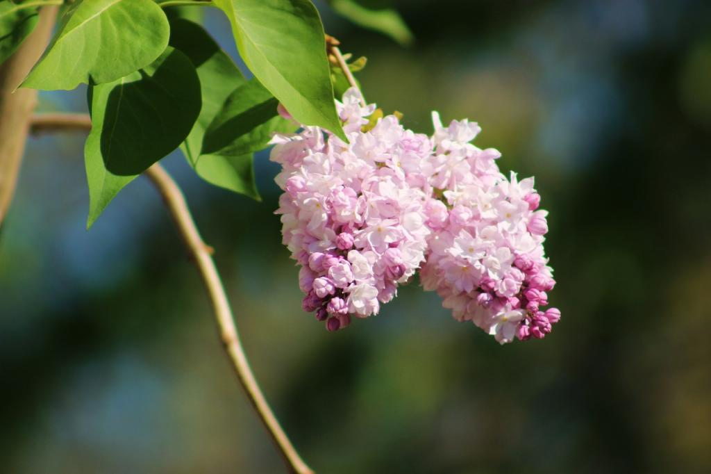 Przepis na nalewkę z kwiatów czarnego bzu
