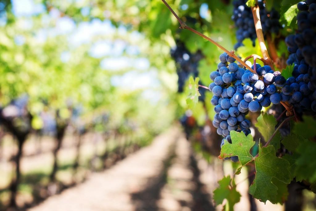 Przepis na nalewkę winogronową ze śliwkami